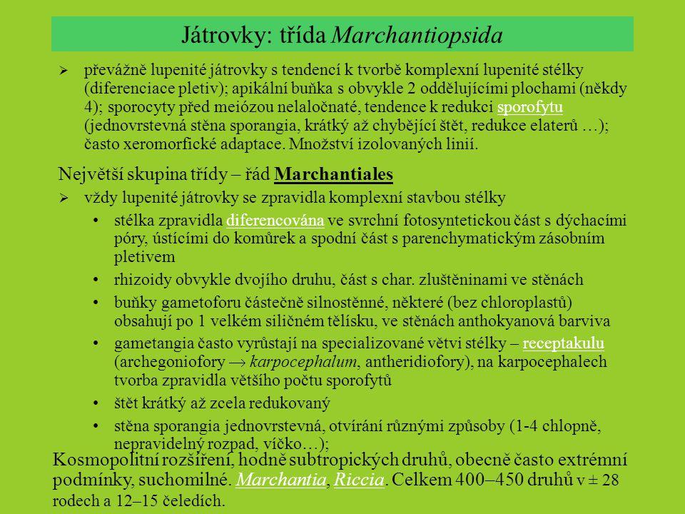 Játrovky: třída Marchantiopsida