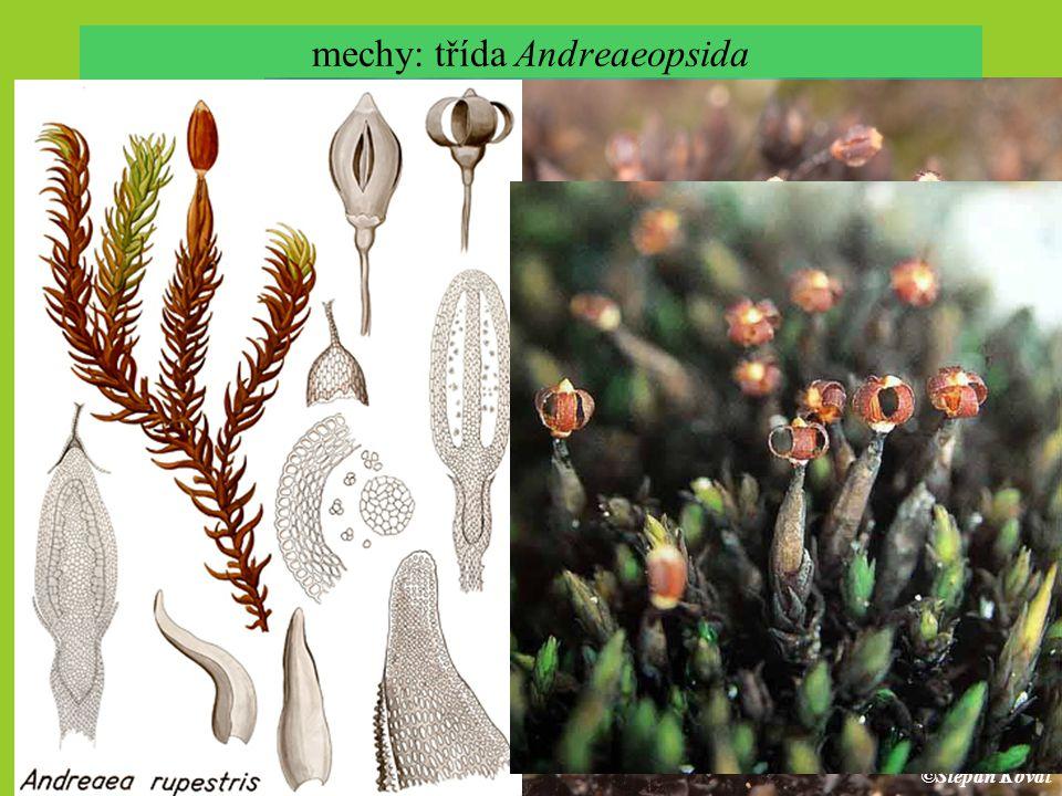 mechy: třída Andreaeopsida