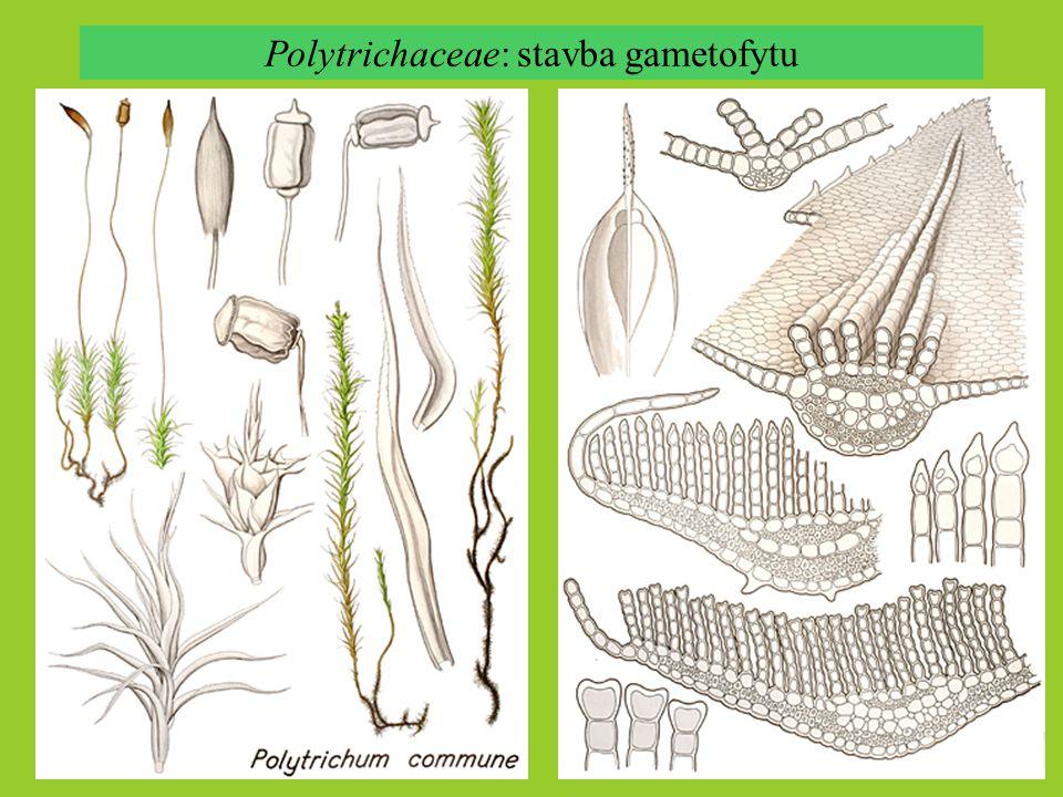 Polytrichaceae: stavba gametofytu