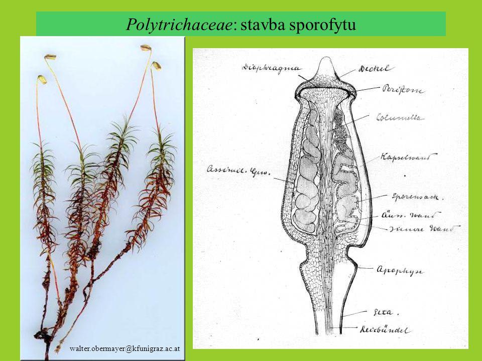 Polytrichaceae: stavba sporofytu