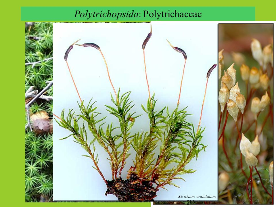 Polytrichopsida: Polytrichaceae