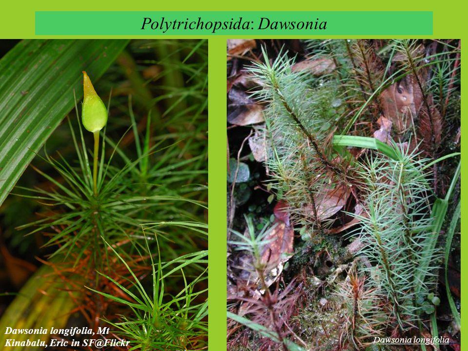 Polytrichopsida: Dawsonia