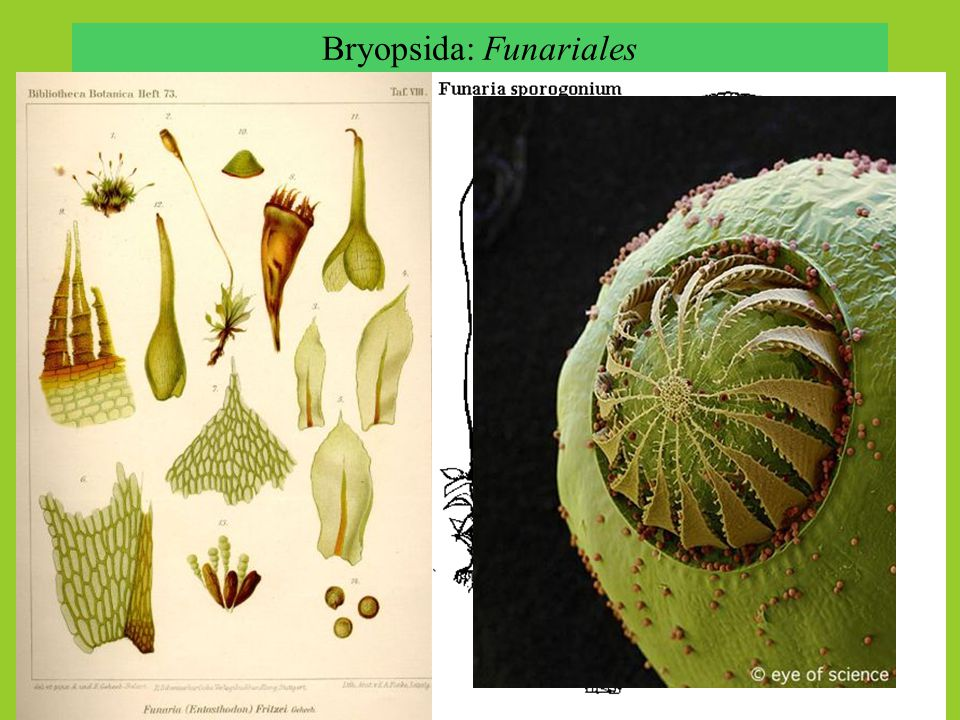 Bryopsida: Funariales