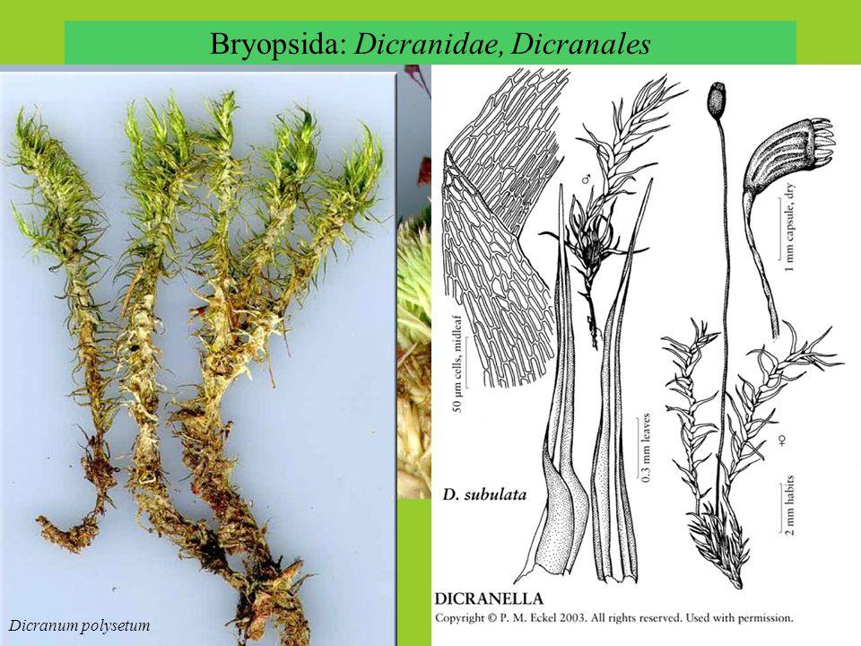 Bryopsida: Dicranidae, Dicranales