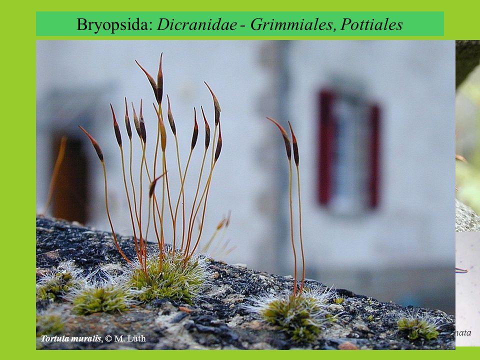 Bryopsida: Dicranidae - Grimmiales, Pottiales