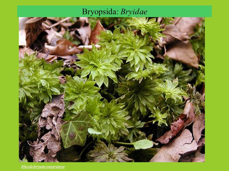 Bryopsida: Bryidae Rhodobryum ontariense Pohlia filum © M. Lüth