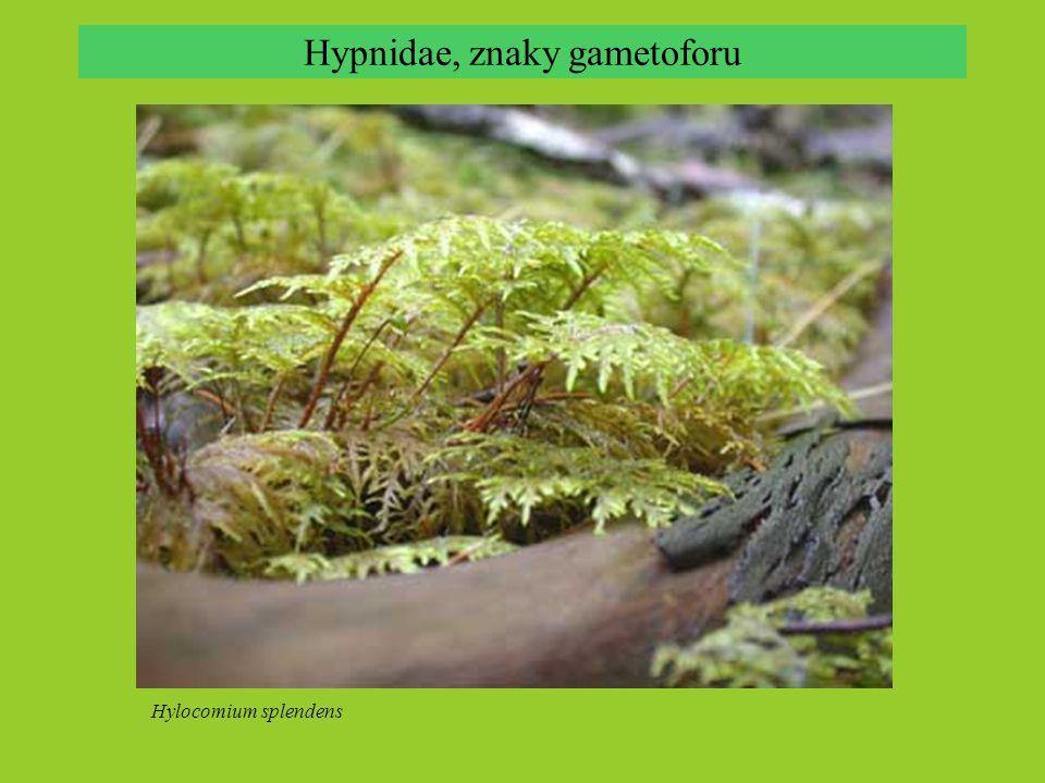 Hypnidae, znaky gametoforu