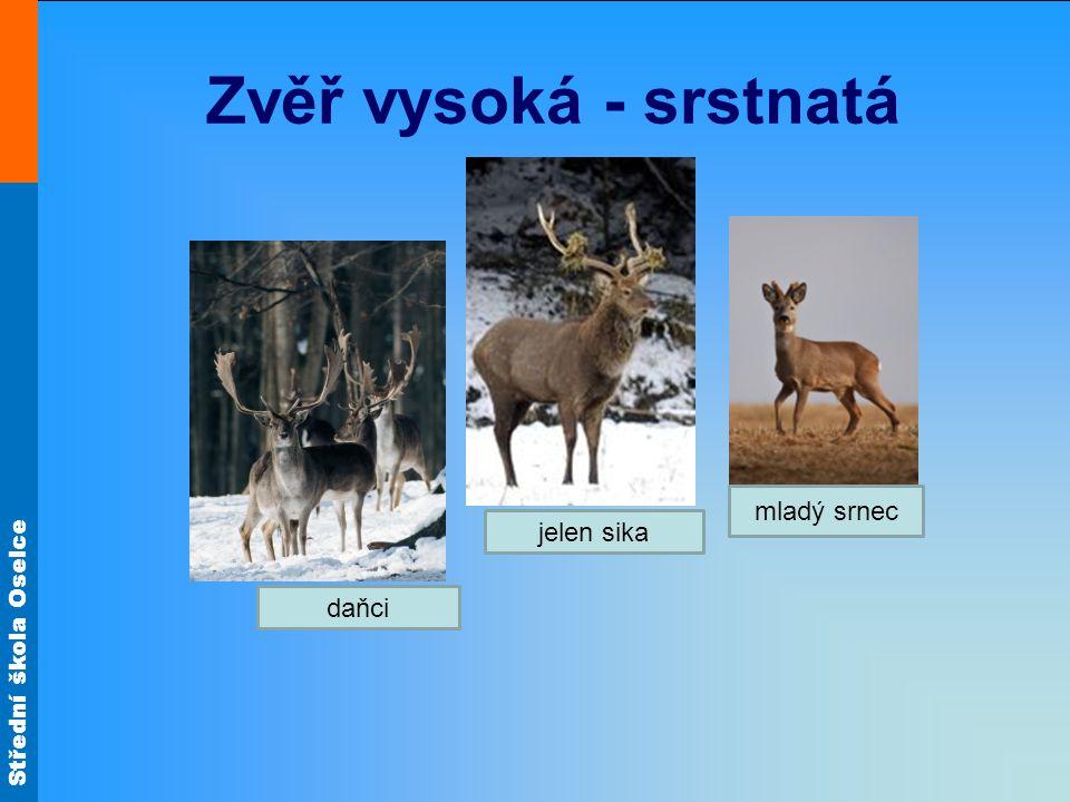Zvěř vysoká - srstnatá mladý srnec jelen sika daňci