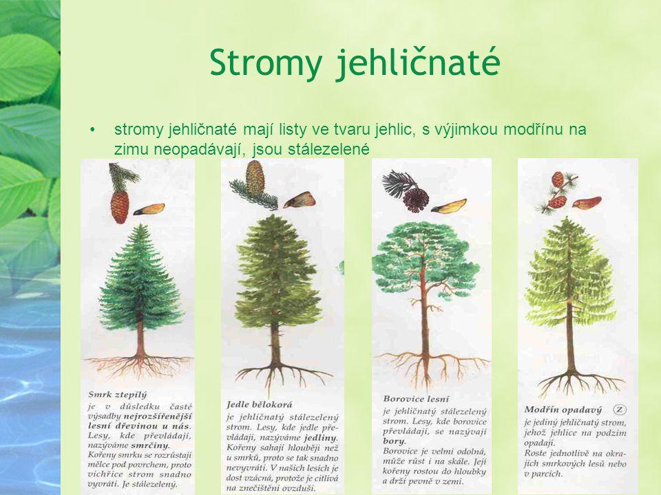 Stromy jehličnaté stromy jehličnaté mají listy ve tvaru jehlic, s výjimkou modřínu na zimu neopadávají, jsou stálezelené.