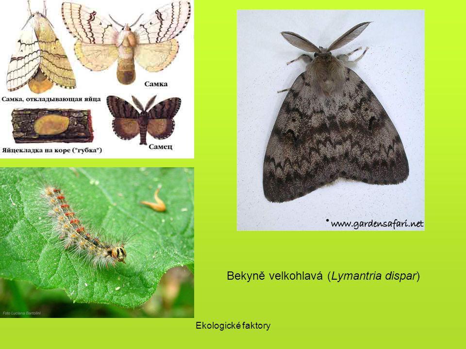 Bekyně velkohlavá (Lymantria dispar)