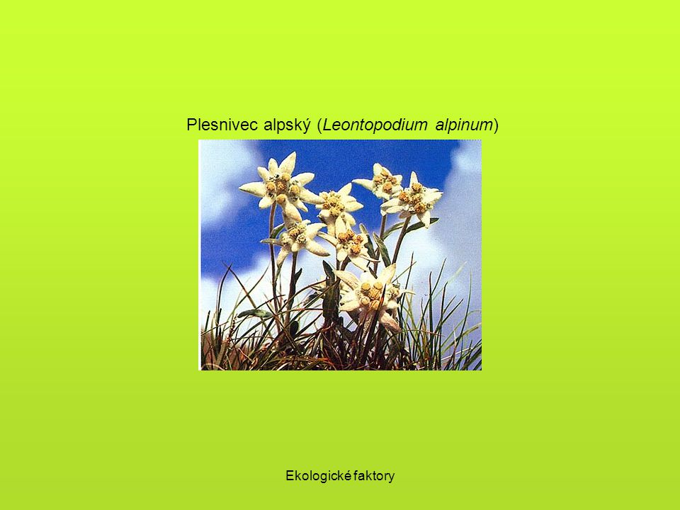 Plesnivec alpský (Leontopodium alpinum)