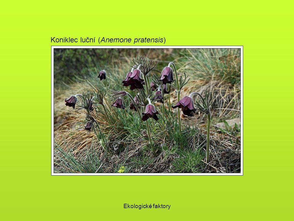 Koniklec luční (Anemone pratensis)
