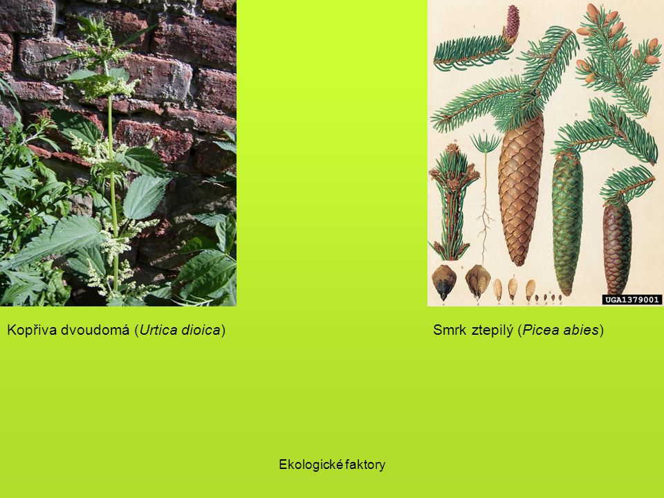 Kopřiva dvoudomá (Urtica dioica) Smrk ztepilý (Picea abies)