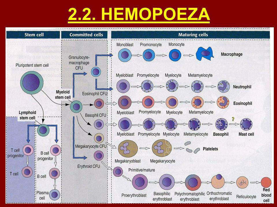 2.2. HEMOPOEZA