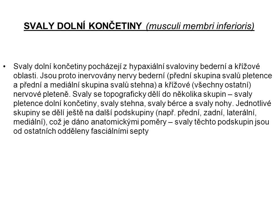 SVALY DOLNÍ KONČETINY (musculi membri inferioris)