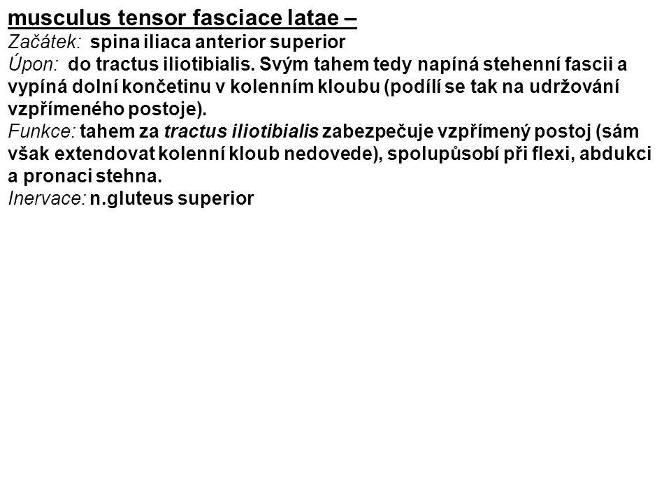 musculus tensor fasciace latae –