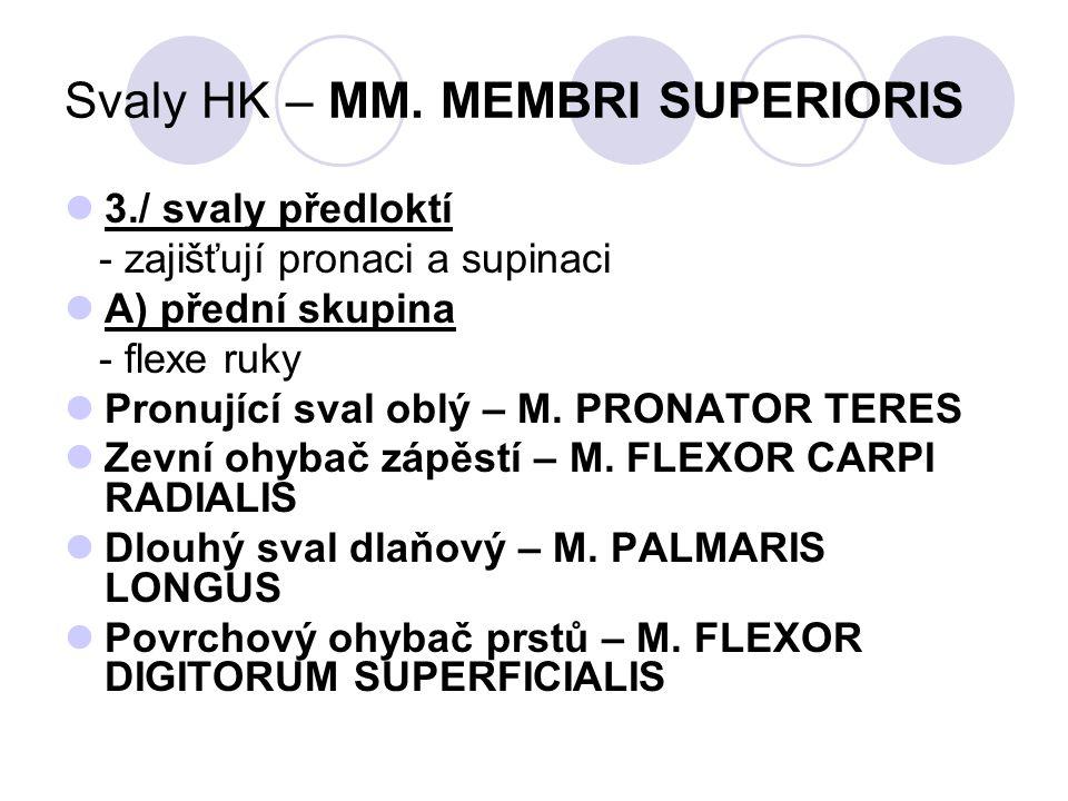 Svaly HK – MM. MEMBRI SUPERIORIS