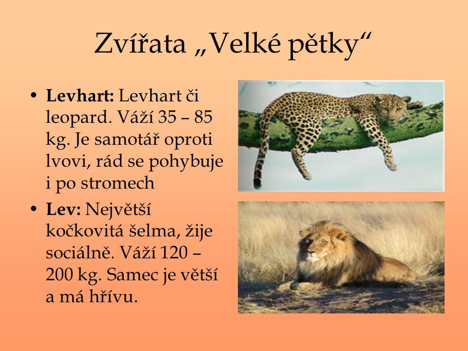 """Zvířata """"Velké pětky Levhart: Levhart či leopard. Váží 35 – 85 kg. Je samotář oproti lvovi, rád se pohybuje i po stromech."""