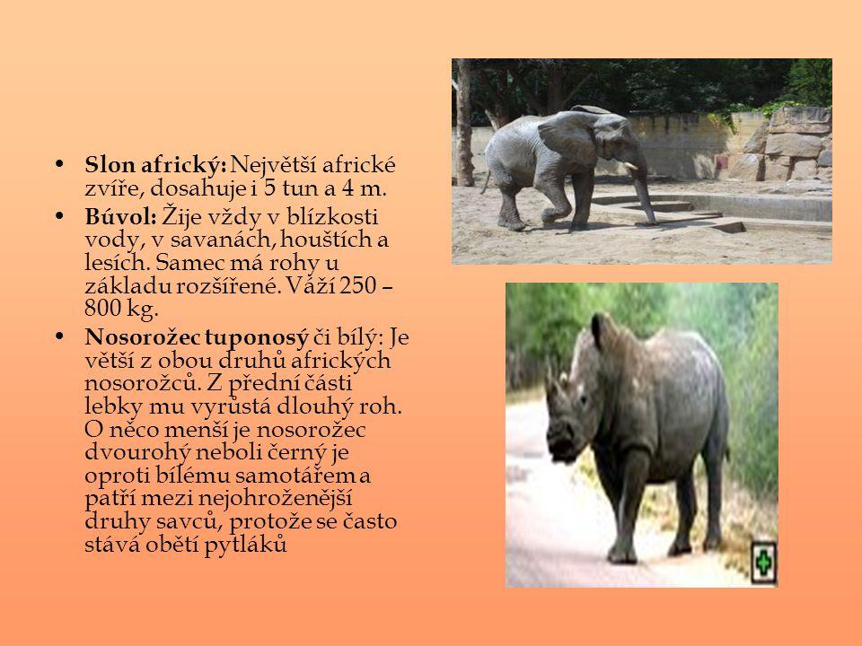 Slon africký: Největší africké zvíře, dosahuje i 5 tun a 4 m.