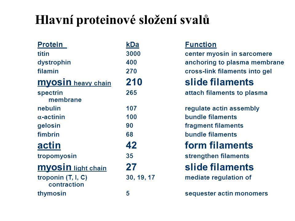 Hlavní proteinové složení svalů