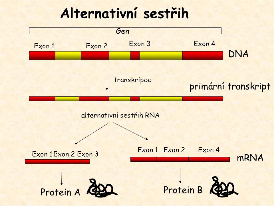 Alternativní sestřih DNA primární transkript mRNA Protein B Protein A