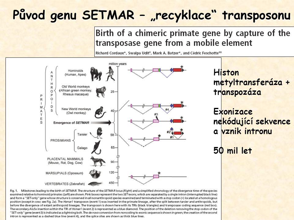 """Původ genu SETMAR – """"recyklace transposonu"""