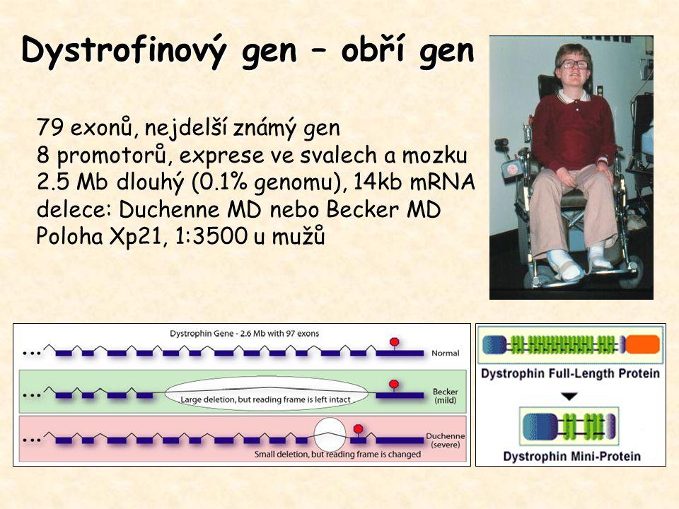 Dystrofinový gen – obří gen