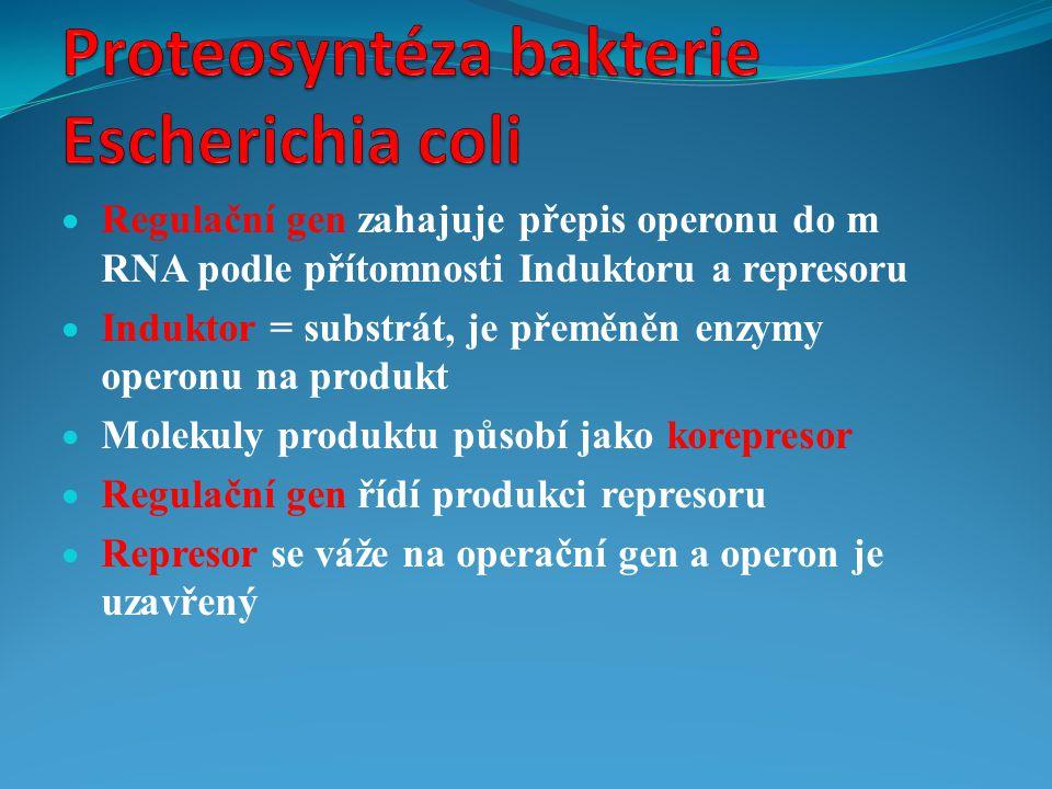 Proteosyntéza bakterie Escherichia coli