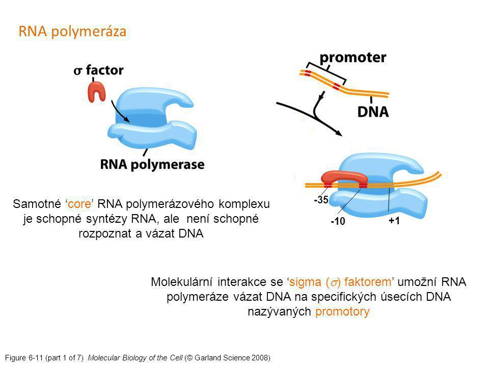 RNA polymeráza Molekulární interakce se 'sigma () faktorem' umožní RNA polymeráze vázat DNA na specifických úsecích DNA nazývaných promotory.