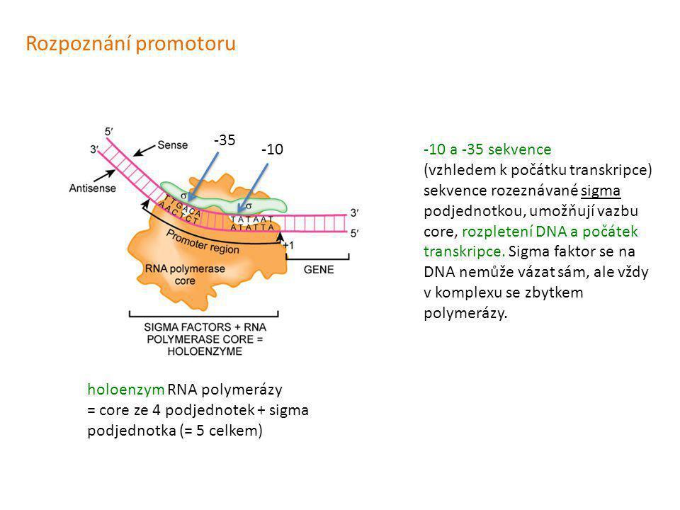Rozpoznání promotoru -35 -10 -10 a -35 sekvence