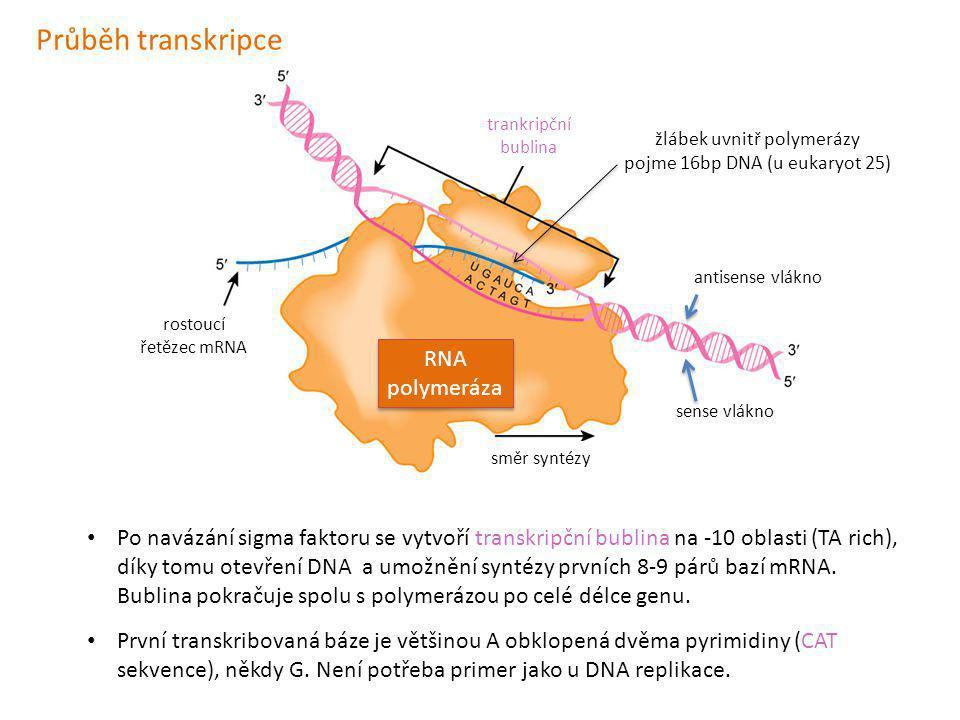 Průběh transkripce RNA polymeráza