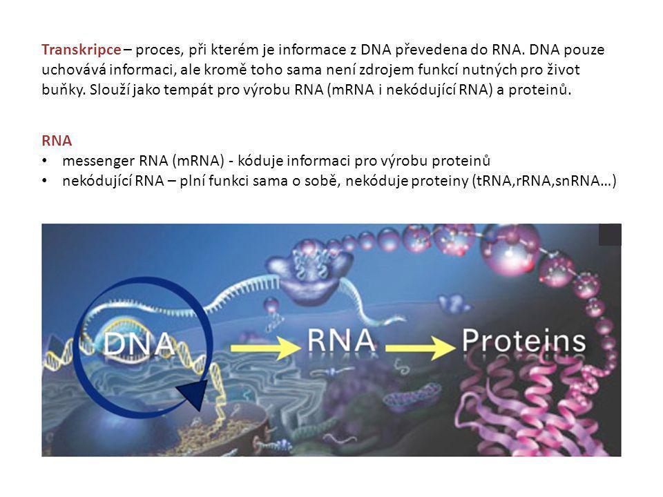 messenger RNA (mRNA) - kóduje informaci pro výrobu proteinů