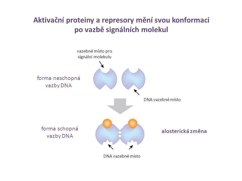 Aktivační proteiny a represory mění svou konformaci