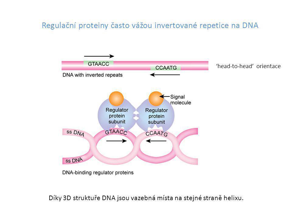 Regulační proteiny často vážou invertované repetice na DNA