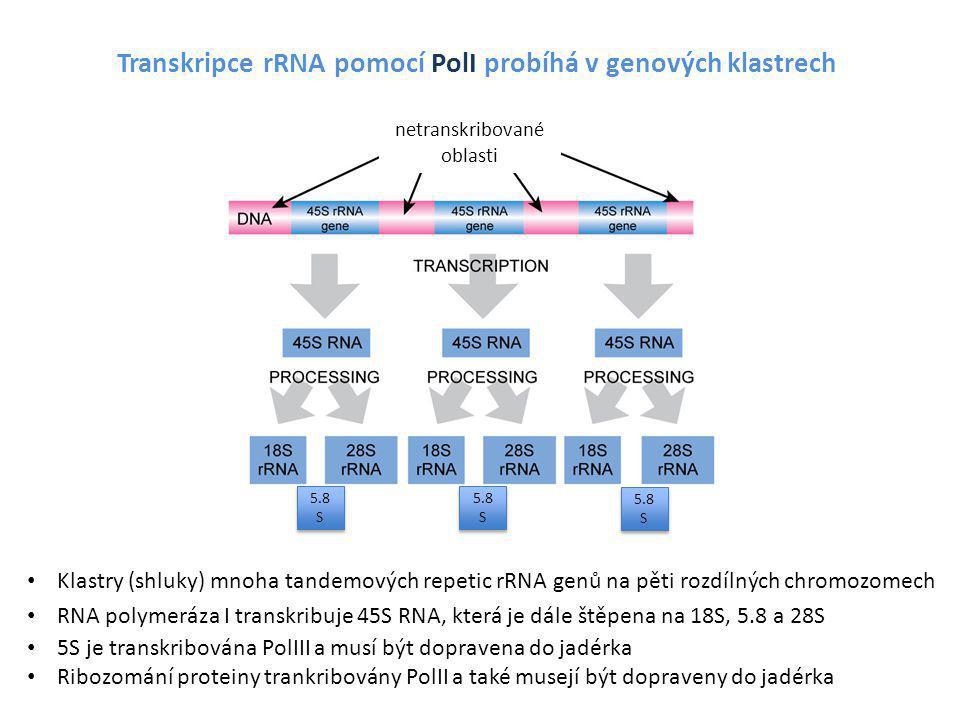 Transkripce rRNA pomocí PolI probíhá v genových klastrech