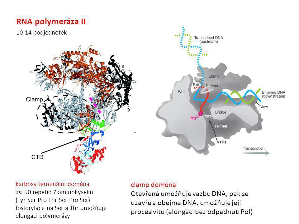 RNA polymeráza II clamp doména