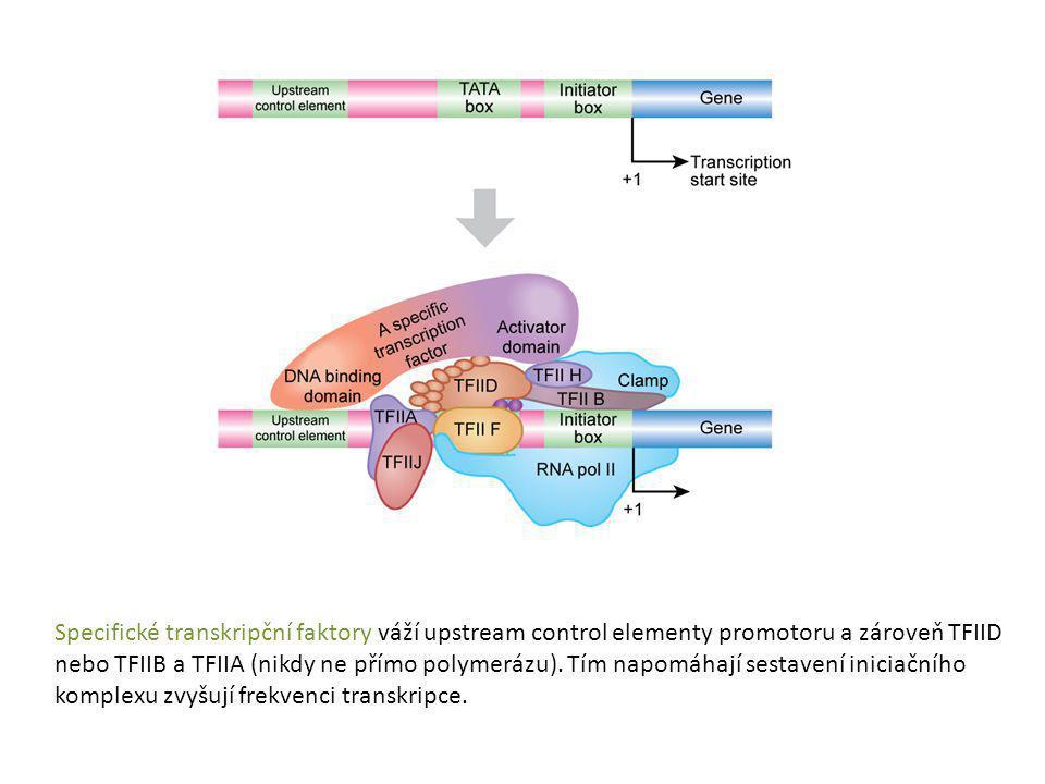 Specifické transkripční faktory váží upstream control elementy promotoru a zároveň TFIID nebo TFIIB a TFIIA (nikdy ne přímo polymerázu).