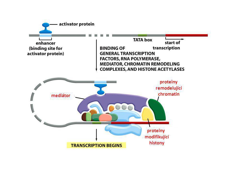 proteiny remodelující chromatin