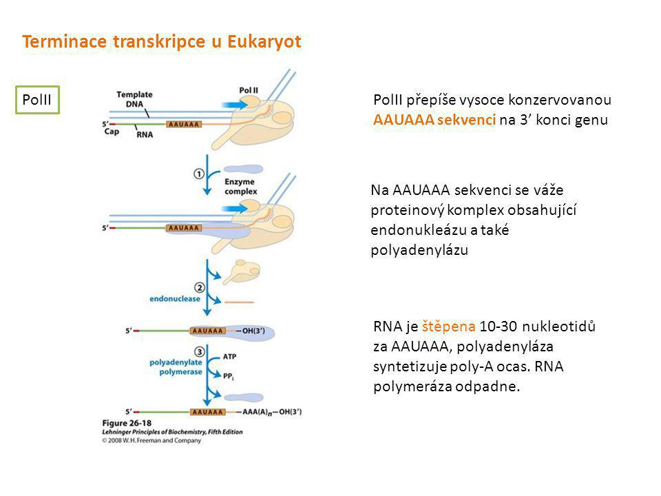 Terminace transkripce u Eukaryot