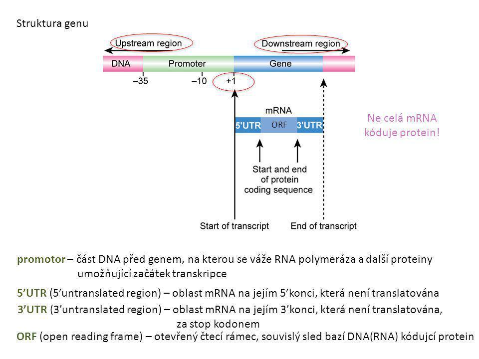 Ne celá mRNA kóduje protein!