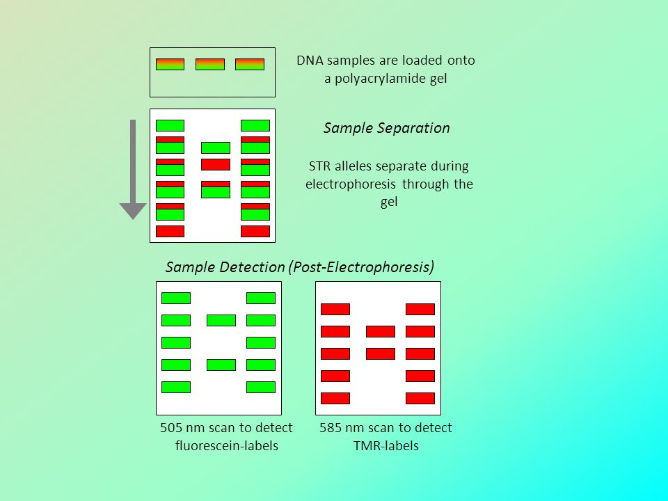 Sample Detection (Post-Electrophoresis)