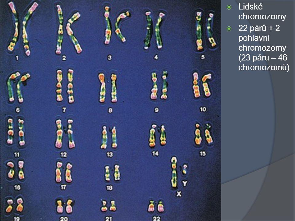 Lidské chromozomy 22 párů + 2 pohlavní chromozomy (23 páru – 46 chromozomů)