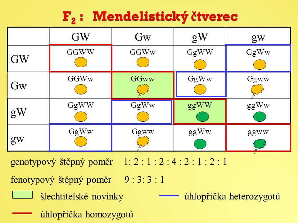 F2 : Mendelistický čtverec