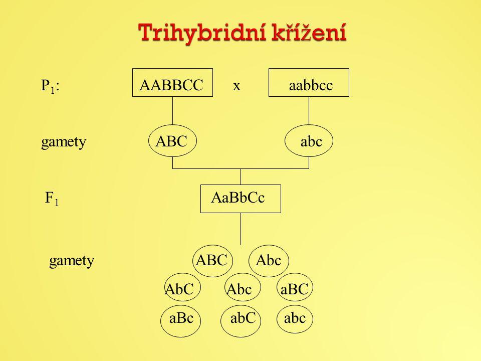 Trihybridní křížení P1: AABBCC x aabbcc gamety ABC abc F1 AaBbCc