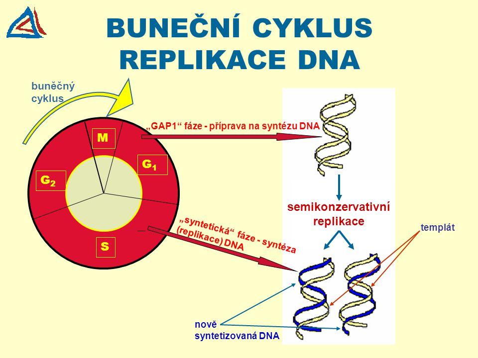BUNEČNÍ CYKLUS REPLIKACE DNA