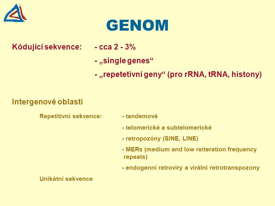 """GENOM Kódující sekvence: - cca 2 - 3% - """"single genes"""