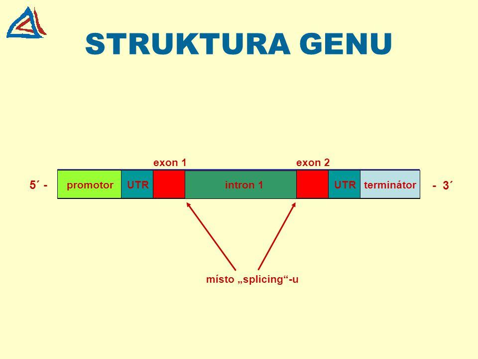 STRUKTURA GENU 5´ - - 3´ exon 1 exon 2 promotor UTR intron 1 UTR