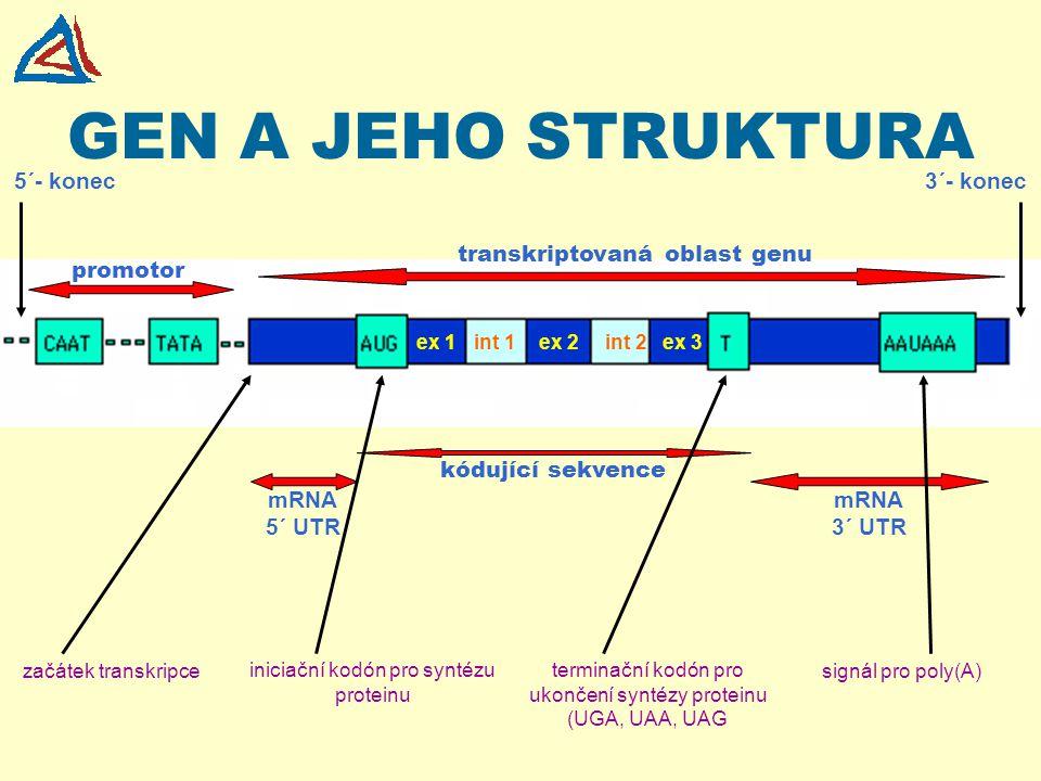 GEN A JEHO STRUKTURA 5´- konec 3´- konec transkriptovaná oblast genu
