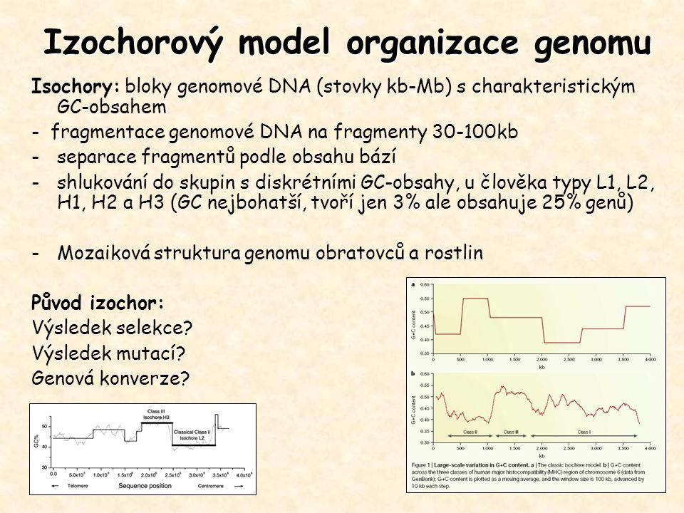 Izochorový model organizace genomu