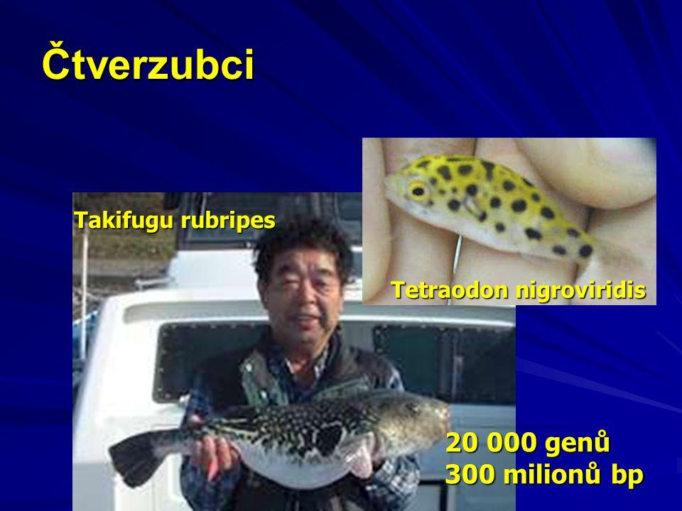 Čtverzubci 20 000 genů 300 milionů bp Takifugu rubripes